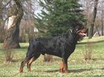 Ротвейлер это старинная порода собак...