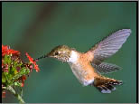 Mountain Hummingbirds Screen Saver v1.1