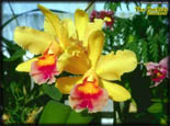 Orchids Screen Saver v1.0